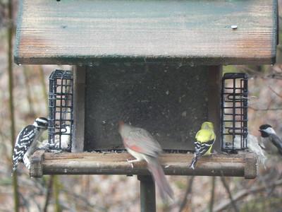 female hairy woodpecker, female cardinal, male goldfinch, chickadee