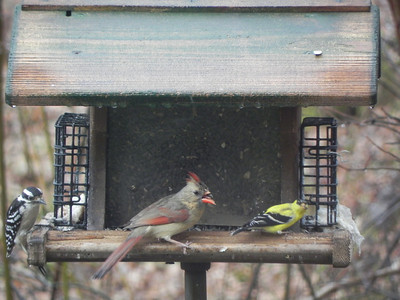 female hairy woodpecker, female cardinal (with malformed beak), male goldfinch
