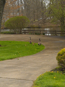 neighborhood goose family