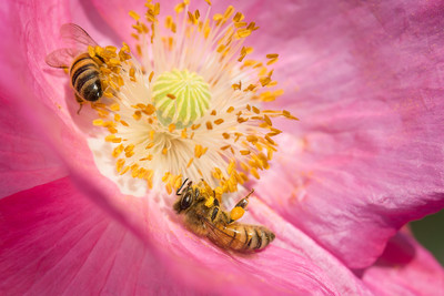 Honey bees on poppy