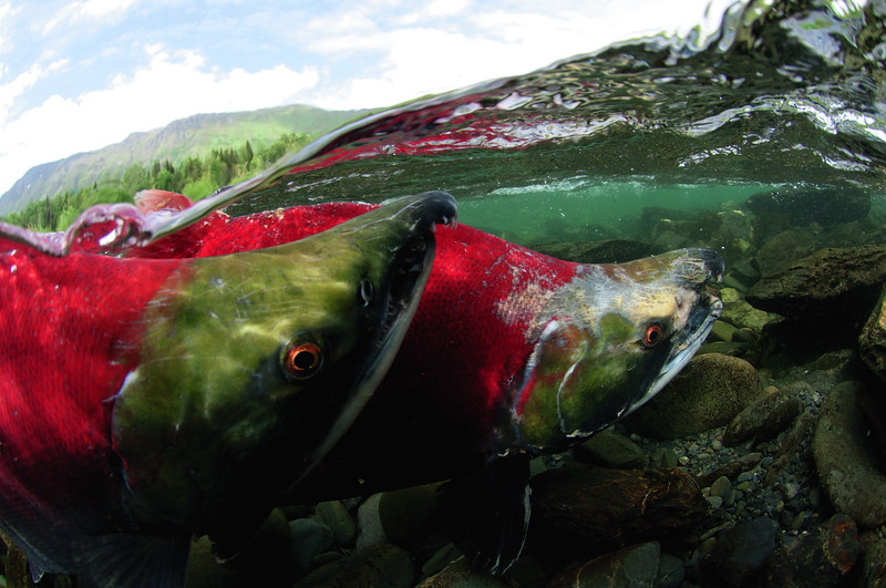 Sockeye salmon (Red Salmon)<br /> reaching their home.<br /> Kenai River, Alaska