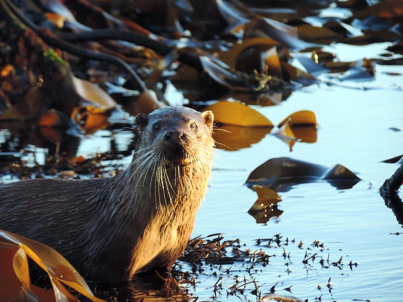 Otter at low tide