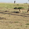 Cubs of the Mara North2