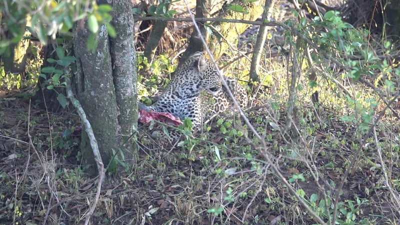 Masai Mara Leopards