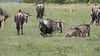 Birth of a Wildebeest1