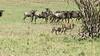 Cheetah herded by wildebeest