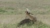 Cheetah cub climbs up mom