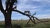 Cheetahs CAN climb a tree, Mara North, Kenya