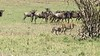 Cheetah Family Herded By Wildebeest
