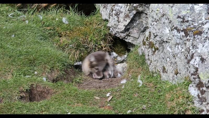 Arctic Fox Kits