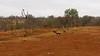 Wild dogs and Hyenas, Mala Mala