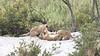 Lion Cubs of Mala Mala