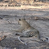 Leopards of MalaMala