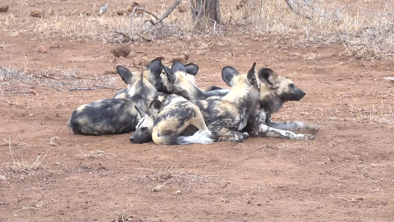 African wild dogs - up close