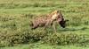Hyena & Jackals with kill in Serengeti