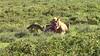 Lions and Jackals at Zebra Kill
