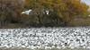 Snow Geese Bosque del Apache