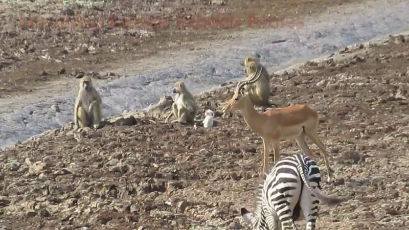 Kaingo-Mwamba Baboons