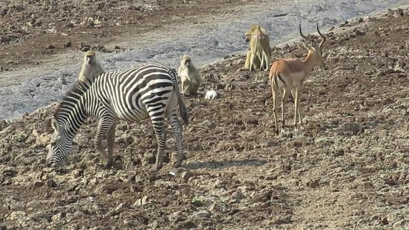 Baboons of Kaingo and Mwamba Zambia