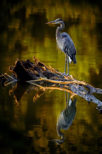 AAA09578 heron 2 indian summer