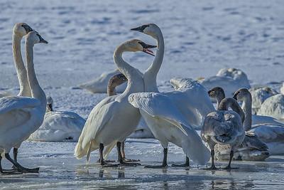 1DM42389 2 swan throat