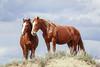 AAA03743 horses on ridge