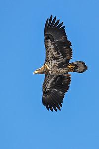 1DM41177 eagle