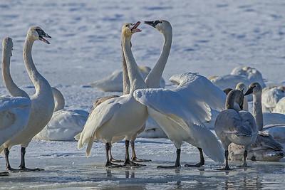 1DM42379 2 swan