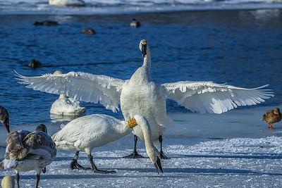 1DM42229 2 swan big fish