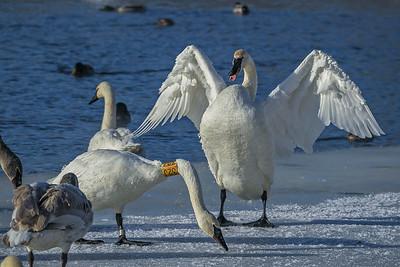 1DM42221 2 swans 2
