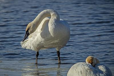 1DM41855 2 swan