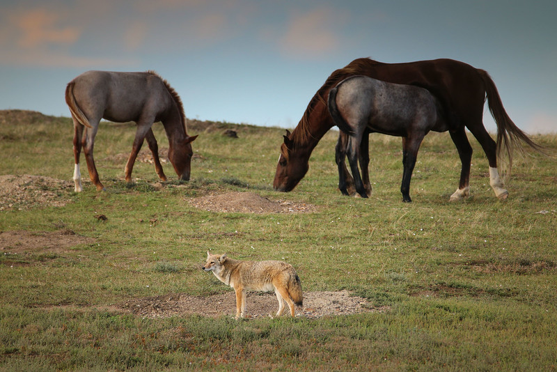 IMG_6870 coyote and horses