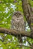 IMG_5049 barred owl