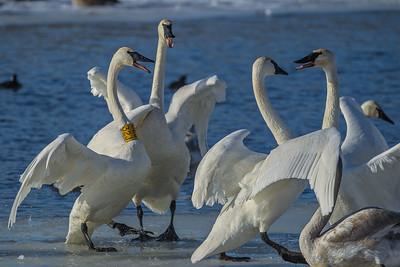 1DM42215 2 swans