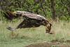 AAA04356 eagle