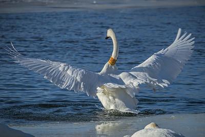 1DM42281 2 swan