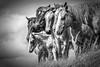 AAA03768 horses ridge bw