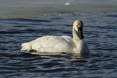 1DM41835 swan