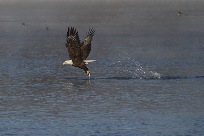 1DM40983 2 eagle fish