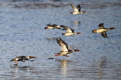 1DM41399 ducks