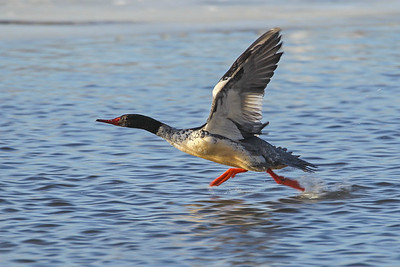 1DM42481 merganser