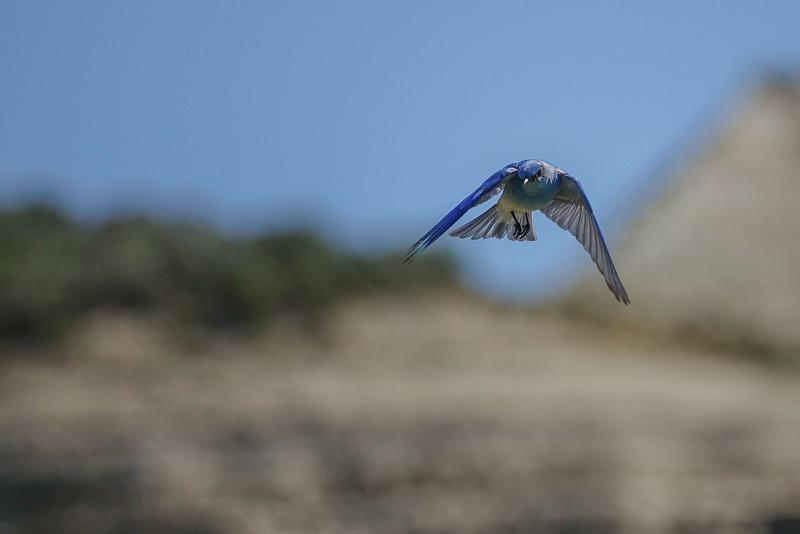 AAA02560 mountain bluebird