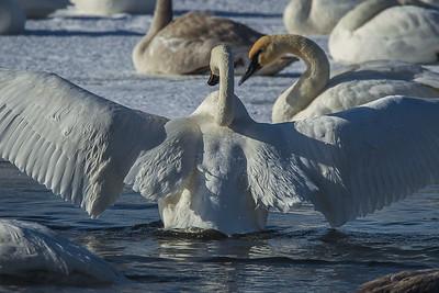 1DM41898 2 swan