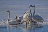IMG_0298 back lite swans