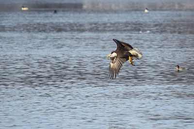 1DM41351 eagle fish