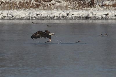 1DM41023 2 eagle fish