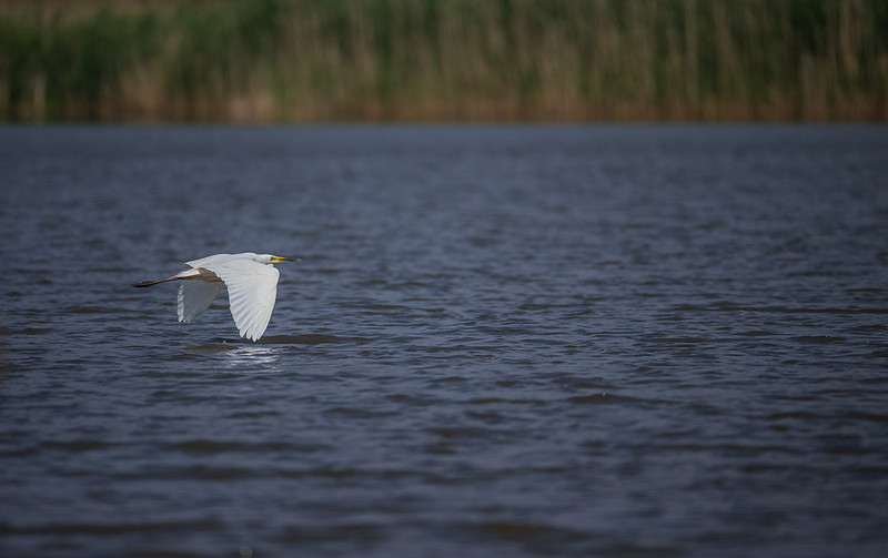 Great Egret / Ägretthäger / Casmerodius albus