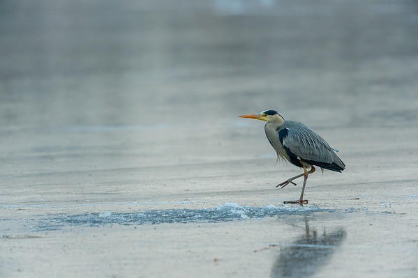 Grey Heron / Gråhäger / Ardea cinerea