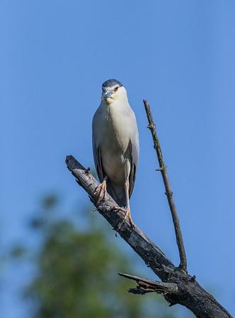 Night Heron / Natthäger / Nycticorax nycticorax