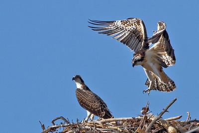 IMG_9714 osprey
